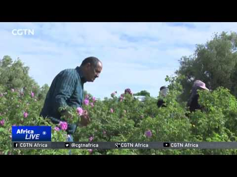 Morocco's Fragrant Crop: Rose Festival showcases an industry dominated by women