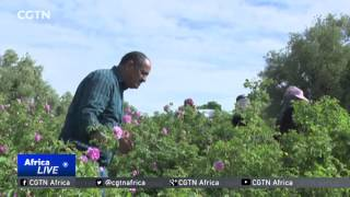 Video Morocco's Fragrant Crop: Rose Festival showcases an industry dominated by women download MP3, 3GP, MP4, WEBM, AVI, FLV Agustus 2018