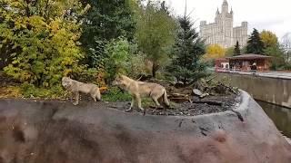 Московский зоопарк в октябре. Волки, коза, белые медведи, серые вороны.