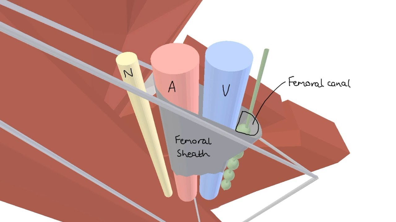 3D Tour of the Femoral Triangle - YouTube