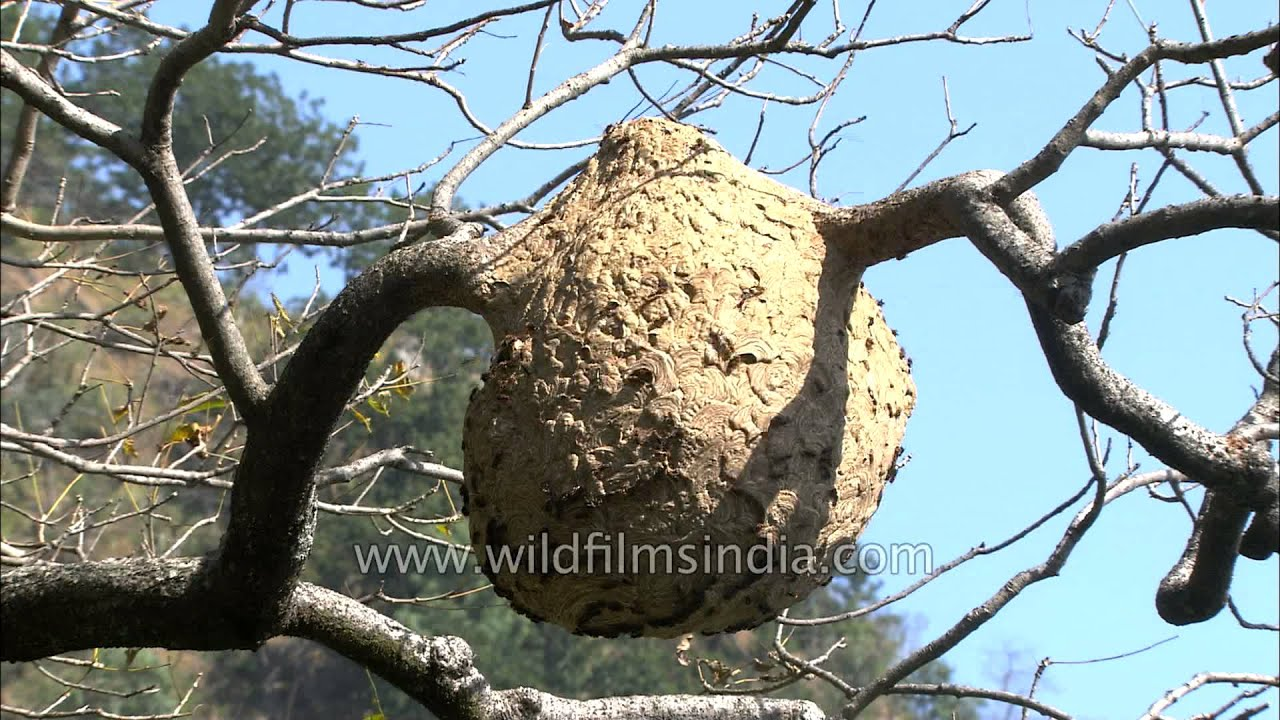 Crematogaster wasp nest hanging on a tree - YouTube