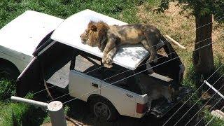 LION in car on public road , Dubai. Dangerous predator on SUV.