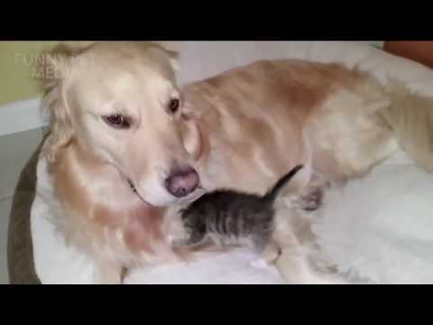 FUNNY PETS ★ Dog Meeting Kitten for the First Time (HD) [Funny Pets]