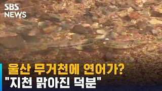 """지류인 무거천에도 연어 등장…""""지천 맑아진 덕…"""