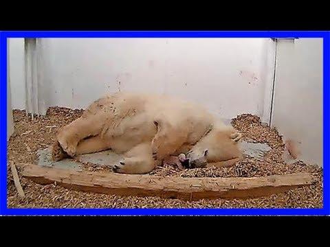 Tierpark – ein neues eisbärenbaby für berlin – haz – hannoversche allgemeine