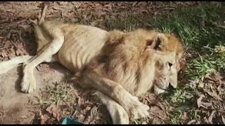 Abused lion reunited with rescuer who's a mother figure to him