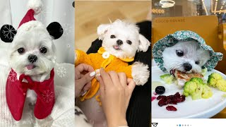 cute maltese compilation | dog lovers