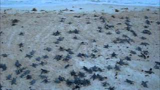 Sea Turtle Hatching Season Cozumel Island