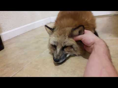 Loki getting really good ear rubs