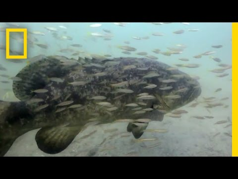 Some Say This Goliath Fish, Once Overfished, Is Now a Nuisance | National Geographic