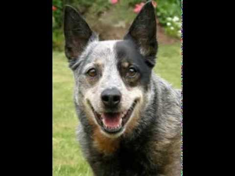 Australian Cattle Dog Facts - Facts About Australian Cattle Dogs