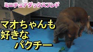 【ミニチュアダックス】食いしん坊なマオちゃん(*´▽`*)