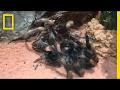 Watch This Tarantula Crawl Out of Its Own Skeleton | National Geographic