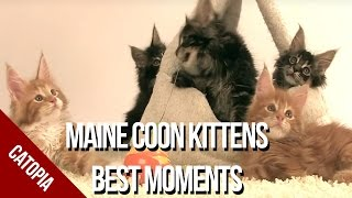 Maine Coon Cat Video - Best Moments of Maine Coon Kittens