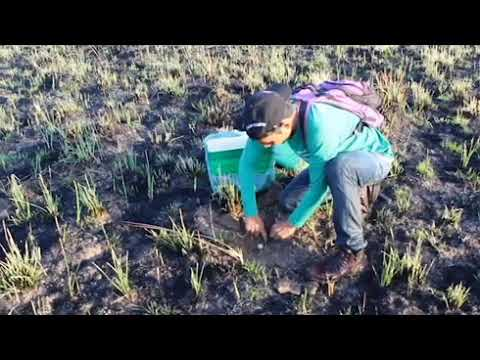 Manejo do tracajá nas Terras Indígenas do Oiapoque