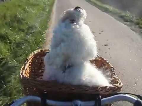 Bichon Körby jaulend im fahrradkorb