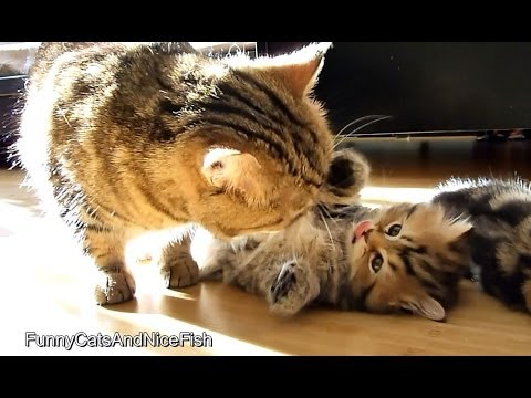Kitten and Mom Cat in the morning  meow version