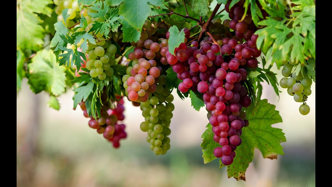 How to gro grape by cutting youtube - Nature ka wallpaper ...