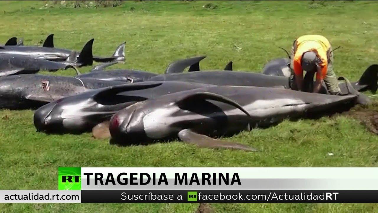Mueren 200 Ballenas Varadas En Las Costas De Nueva Zelanda Pocos