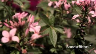 Proven Winners® Grower Channel: Senorita Blanca™ Cleome