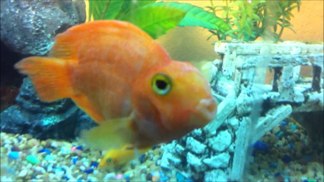 Parrot fish infected w ich youtube for What is ick in fish