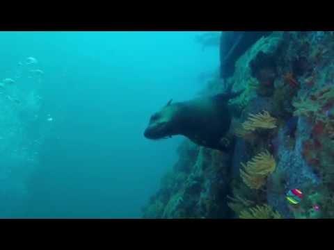 Cape Fur Seals Dive Seal Rock False Bay Simon