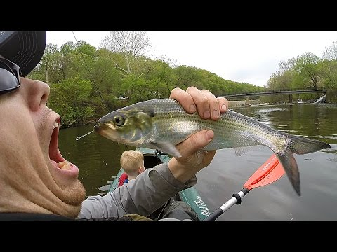 Kayak Fishing For Shad And Fishing For Catfish - Catfishing With Shad - Catch Shad With Lures