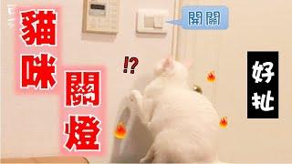 【豆漿 - SoybeanMilk】養了一隻會關燈的天才貓咪?