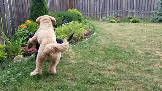 Tuxedo and Bailey playing chasing in my backyard.