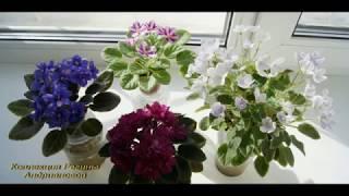 Мои СОРТОВЫЕ ФИАЛКИ и др. цветы (фото с названиями),№7