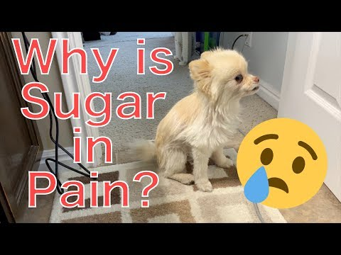 Does our dog need to go to the vet? Pomeranian in pain