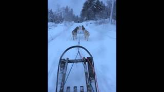 Dog sledding began to run with the driver left behind. 犬が走りだし...
