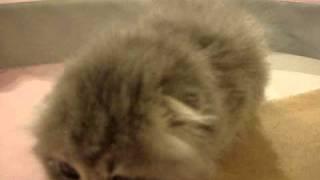 【超美猫!!】これぞまさにスコティッシュと言っても良いほどしっかり...