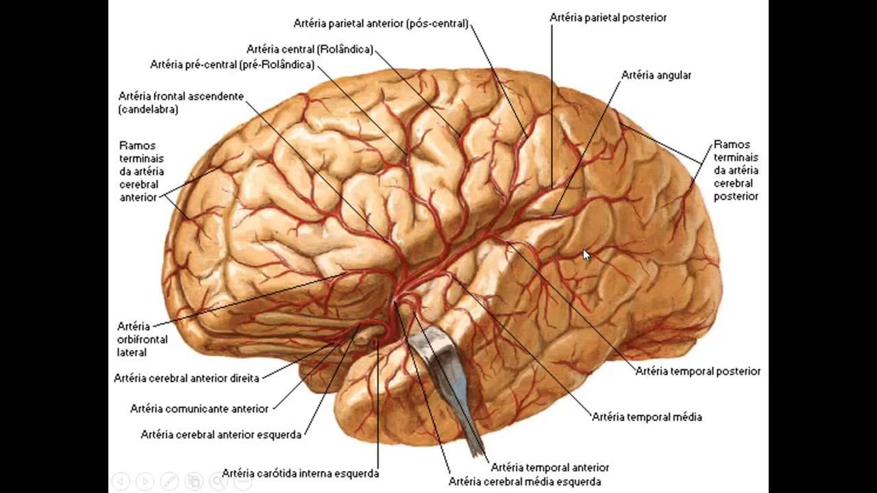 Hermosa Anatomía Del Cerebro De Vídeo Elaboración - Anatomía de Las ...