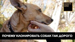 «Копипаст» питомцев: почему клонирование собак такое дорогое
