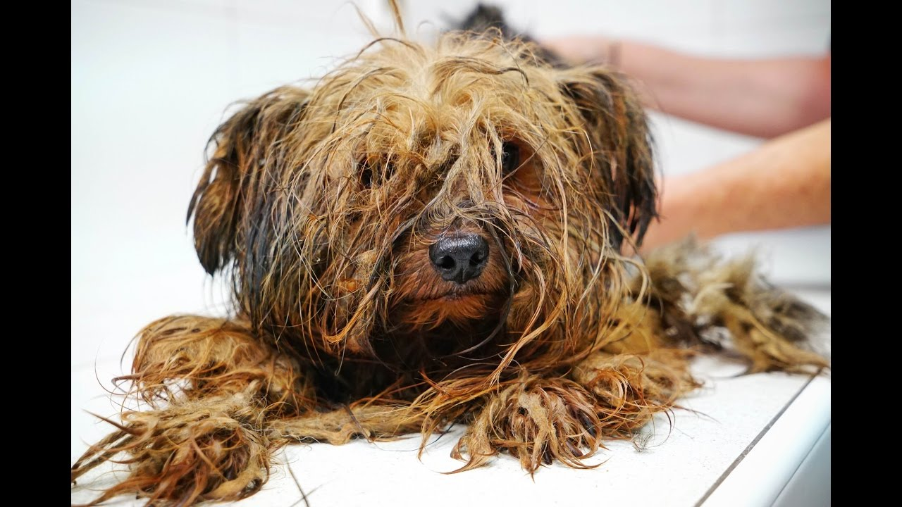Amazing Transformation Of A Yorkie Used At A Puppy Mill For Breeding