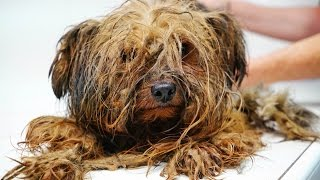 Amazing transformation of a Yorkie used at a puppy mill for breeding his entire life