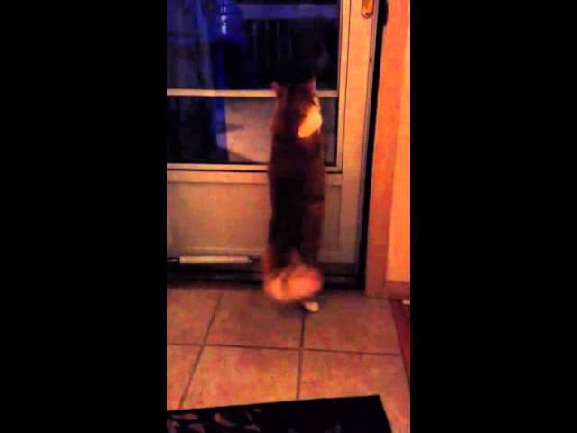 Cat asking to open the door
