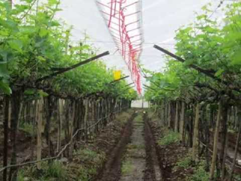 Table Grapes Plastic Cover Video India