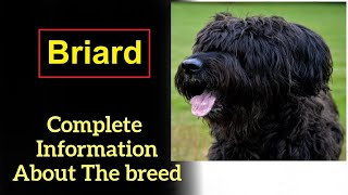 Briard. Pros and Cons, Price, How to choose, Facts, Care, History