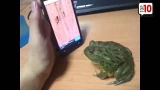 Sapo juega con el celular