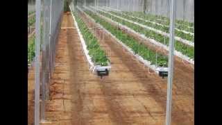 видео выращивание клубники по израильской технологии