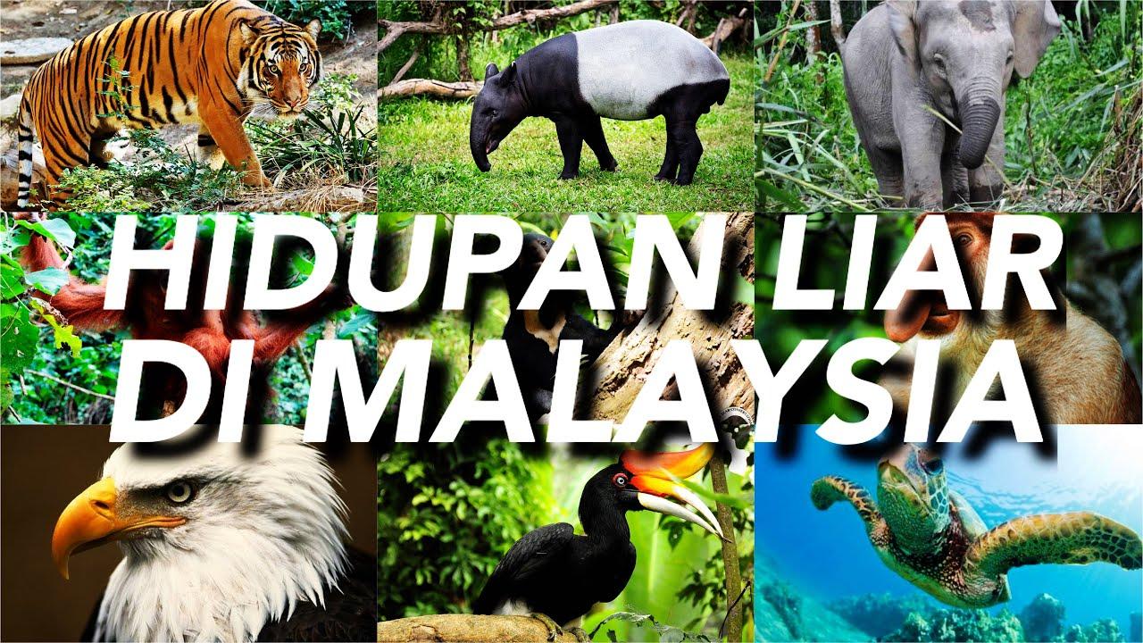 Hidupan Liar Di Malaysia Youtube