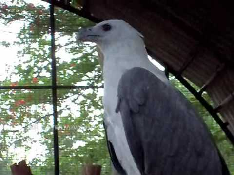 White Eagle - Rare Bird