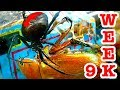 Deadly Redback Spiders Giant Beetle Bug Battle Week 9