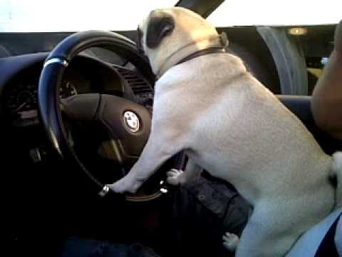 Lexi The Pug Driving Youtube