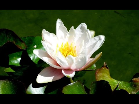 Zen Garden - Lotus Blossoms - Nature sounds (No Music) - Relaxation, Meditation, Mindfulness