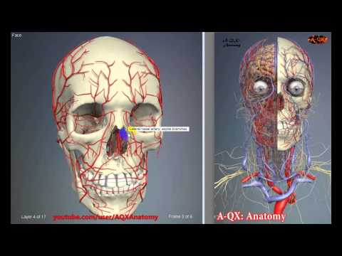 Arteries of the head and neck | 3D Human Anatomy | Organs