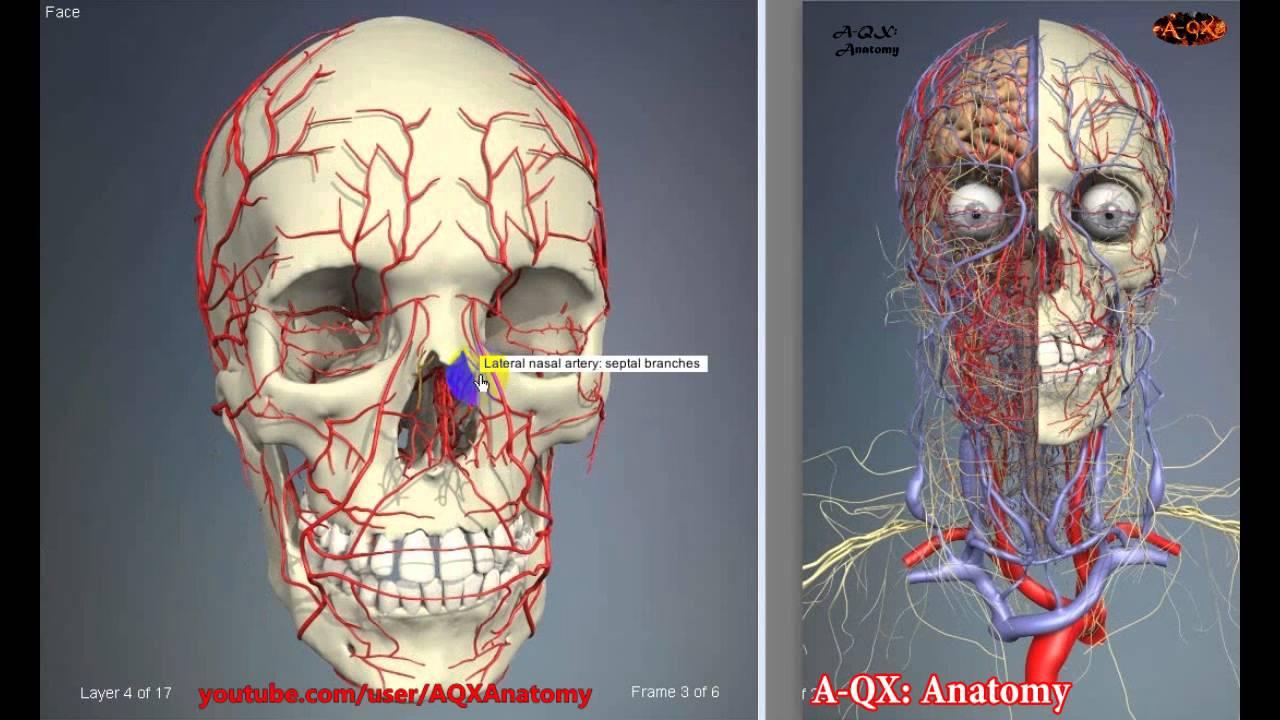 vascular diagram of neck [ 1280 x 720 Pixel ]