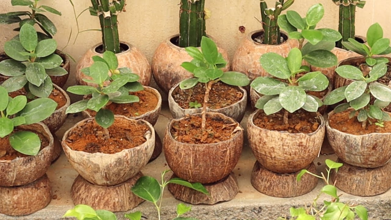 How to grow Chinese banyan tree in coconut shell